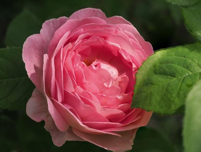 Rose-42-50
