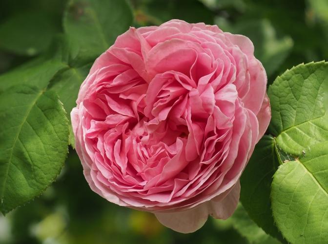 Rose-51-59